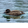 White Winged Scoter (b2431)