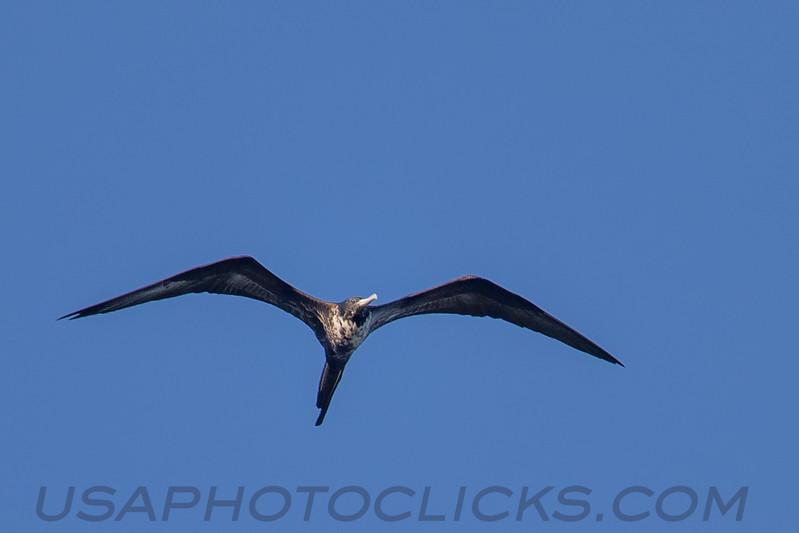 Magnificent Frigatebird (b2912)