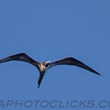 Magnificent Frigatebird (b2912)