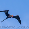 Magnificent Frigatebird (b2913)