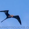 Magnificent Frigatebird (b2913)