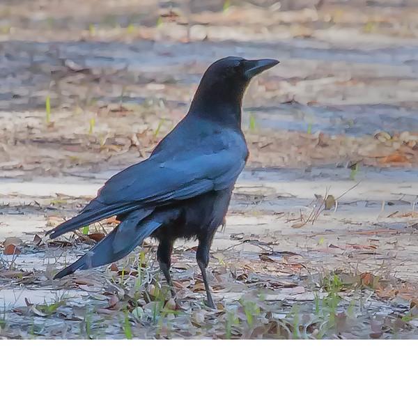 Fish Crow (b0511)