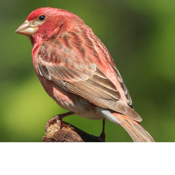 Purple Finch (0601)