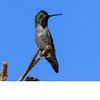 Black Chinned Hummingbird (b10313)