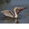 Brown Pelican (b1644)