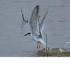 Foster's Tern (b2402)