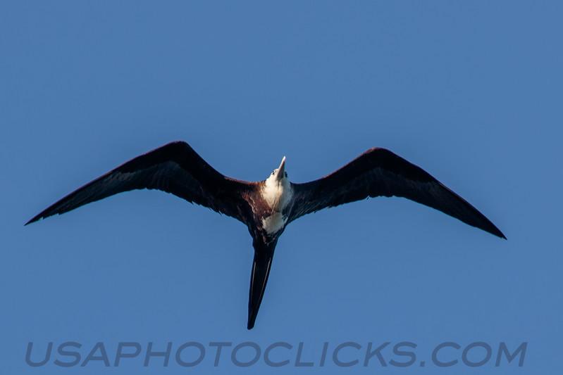 Magnificent Frigatebird (b2915)