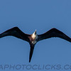 Magnificent Frigatebird (b2915)