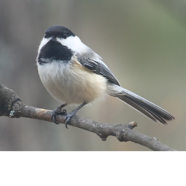 Black Capped Chickadee (b0152)