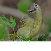 Ruby Crowned Kinglet (b1241)