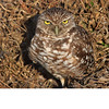 Burrowing Owl (b1551)