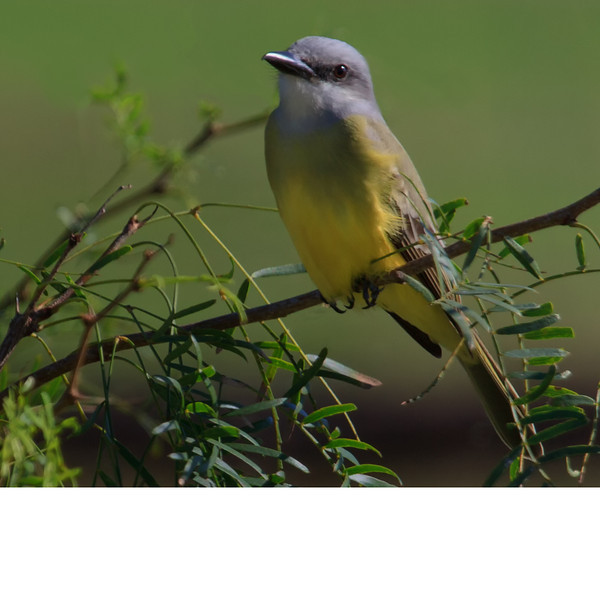 Couch's Kingbird (b1182)