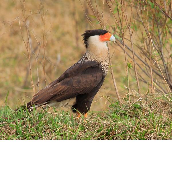 Crested Caracara (b0111)