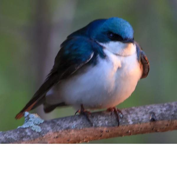 Tree Swallow (b2292)
