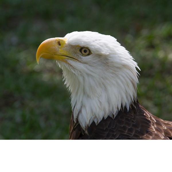 Bald Eagle (b0521)