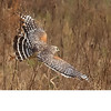 red Sholdered Hawk (b0953)