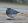 Dark Eyed Junco (b1151)