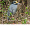 Yellow Crowned Night Heron (b1411)