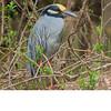 Yellow Crowned Night Heron (b1411)