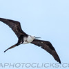 Magnificent Frigatebird (b2916)