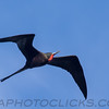 Magnificent Frigatebird (b2914)