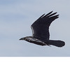 Chihuahuan Raven (b1821)