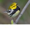 Black Throated Green Warbler (b2704)