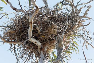Zebra Finch Nest in Whistling Kite Nest