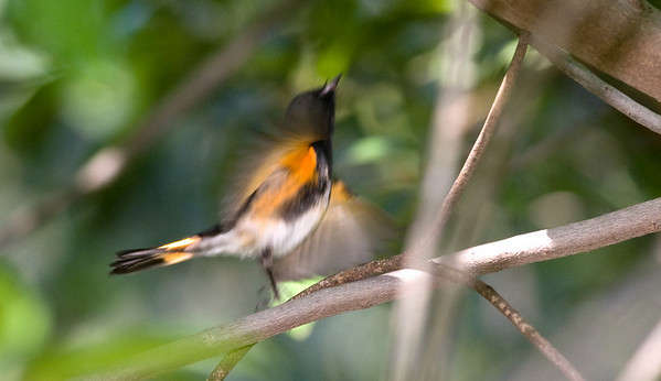 American Redstart (scared by camera flash)