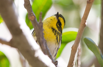 Townsend's Warbler (Who's that phishing?)