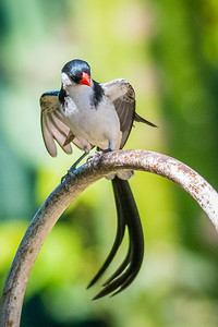 Pin-tailed Whydah-4168