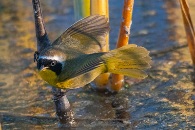 Common yellowthroat-6233