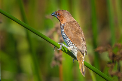 The scaly-breasted munia or spotted munia (Lonchura punctulata), known in the pet trade as nutmeg mannikin or spice finch, is a sparrow-sized estrildid finch native to tropical Asia. This munia eats mainly on grass seeds apart from berries and small insects. They forage in flocks and communicate with soft calls and whistles. The species is endemic to Asia and occurs from India and Sri Lanka east to Indonesia and the Philippines. It has been introduced into many other parts of the world and feral populations have established in Puerto Rico and Hispaniola as well as parts of Australia and the United States of America.