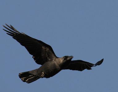 Varislinnut (Crows and Jays)