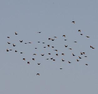 1.12.2010 Yotvata, Israel  Flock moving from Israel to Jordan