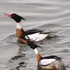This is the courting display of the male mergansers. First they nod their heads, then they stretch their heads high  and then they bow down under hte water with their heads out and beaks gaping. Lastly they flare their wings and sail around like frigates.