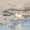 Sandpiper; Sandpipers; Beach; Birds; Bird; Nature
