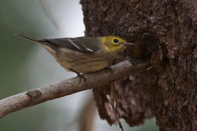 Townsend's Warbler (Setophaga townsendi)