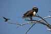 Magpies are very vocal when they don't really want eagles close to their nest.