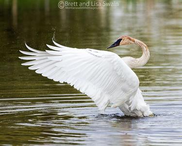 Trumpeter Swan Preening
