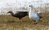 Male (right) and female (left) Upland Geese (choephaga comun). Near Punta Bandera,  Southern Patagonia, Argentina.