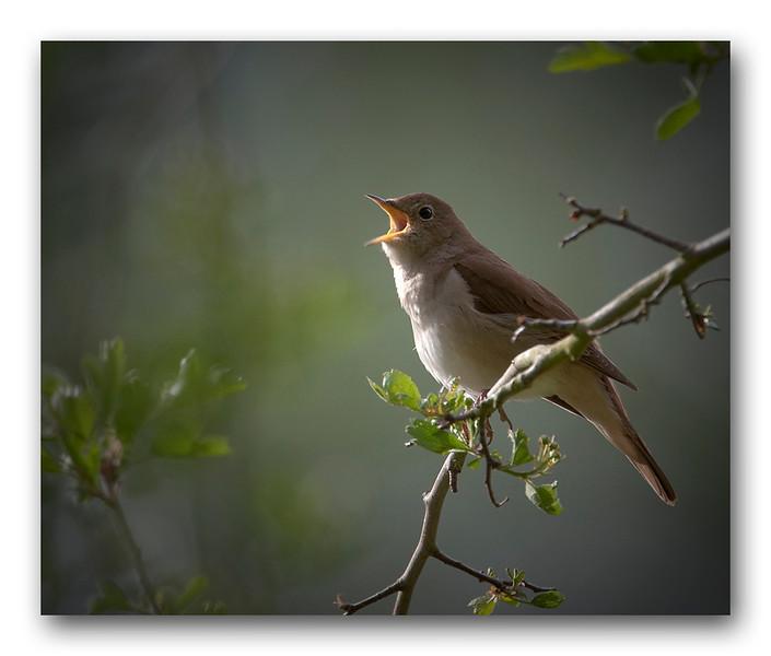 A nightingale sings