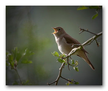 A nightingale sings
