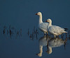 Snow Geese Enjoying Sunset - Bosque del Apache