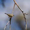 Yellow-rumped Thornbill with nesting material