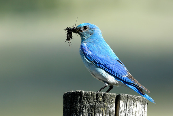 Male Bluebird with Cricket