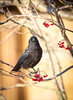 Crows and Berries.