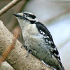 Dryobates pubescens – Downy woodpecker 2