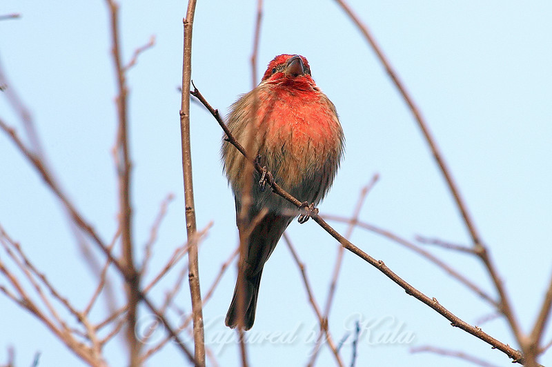 Male House Finch #3 View 1