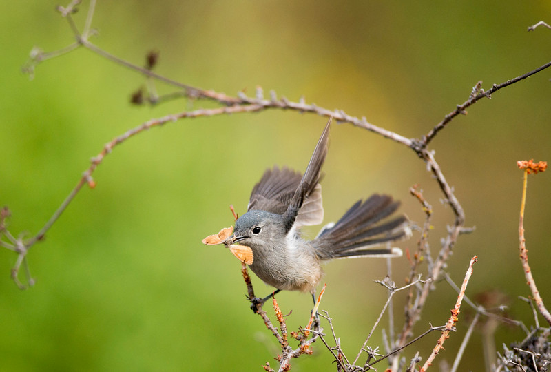 Mama California Gnatcatcher bringing food to the nestlings